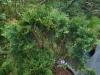 Chilentuoksusetri, Austrocedrus chilensis