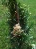 Kiinankataja, Juniperus chinensis 'Variegated Kaizuka'