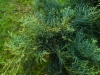 Tarhakataja, Juniperus x pfitzeriana 'Pfitzeriana Glauca'
