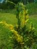 Kiinankataja, Juniperus chinensis 'Aureovariegata'