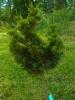 Pallokynäkataja, Juniperus virginiana 'Globosa'