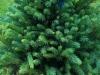 Pallomustakuusi, Picea mariana 'Pumila'