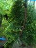 Kirjonutkansypressi, Cupressus nootkatensis 'Nordkroken'