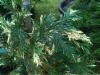 Kirjonutkansypressi, Cupressus nootkatensis 'Variegata'