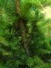 Kuusi, Picea abies 'Fredrik 1'