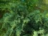 Kynäkataja, Juniperus virginiana 'Blue Mountain'