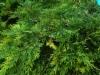 Kirjava tuivio, Microbiota decussata 'Goldspot'