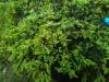 Kultakääpiökataja, Juniperus communis 'Goldschatz'