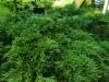 Matala rontokataja, Juniperus sabina 'Monna'