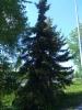 Riippaengelmanninkuusi, Picea engelmannii f. pendula