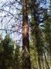 Mukurakuusi, Picea abies f. gibberosa, alkuperäinen puu Mäkisenmäen Arboretumissa