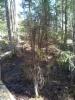 Luutakuusi, Picea abies f. condensata, alkuperäinen puu Mäkisenmäen Arboretumissa pitkospuureitin varrella