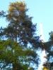 Pallomänty, Pinus sylvestris f. globosa