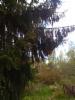 Riippakuusi, Picea abies f. viminalis