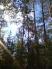 Riippamänty, Pinus sylvestris f. pendula, Nastola