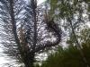 Männyn laakauma, Pinus sylvestris cristate form, Uusikylä, Nastola