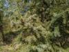 Mustakuusi Picea mariana