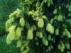 Kultakuusi, Picea abies 'Kuhmoisten Kulta' (f. aurea)