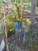 Luutakuusi, Picea abies 'Ukko' (f. condensata)