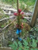 Purppurakuusi, Picea abies f. cruenta, Ruotsi