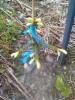 Kultasurukuusi, Picea abies 'Haapasten Kulta'
