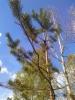 Käärmemänty, Pinus sylvestris f. virgata, Kolkkala