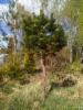 Pallovuorimänty, Pinus mugo wb, Vääksy