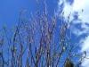 Suomenpihlaja, Sorbus hybrida
