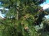 Purppurakuusi, Picea abies f. cruenta