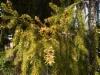 Kultakäärmekuusi, Picea abies 'Ikola's Golden Snake'