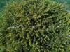 Ulkomaalainen tapionpöytä klooni, Picea abies 'Tabulaeformis'