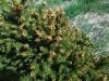 Pallokuusi, Picea abies 'Ohlendorffii'