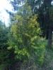 Kultatuija, Thuja occidentalis 'Yellow Ribbon'