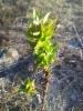 Nallenpoppeli, Populus balsamifera 'Nalle'