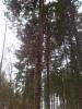 Erikoinen kuusien yhteenkasvu ilmiö Mäkisenmäen Arboretumissa