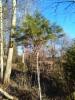 Pallomänty, Pinus sylvestris f. globosa, Kausala