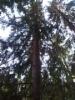 Pallokuusi, Picea abies f. globosa, Hennala, Lahti. Kuvassa rungon kohdalla, kuvan yläosassa