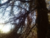 Huonokuntoinen pallokuusi, Picea abies f. globosa, Ruotsinkylä