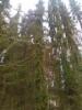 30 cm leveä surukuusi, Picea abies f. pendula