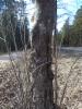 Huonokuntoinen mukurapihlaja, Sorbus aucuparia f. gibberosa, Nastola