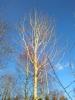 Raippahaapa, Populus tremula f. flagelliformis, Kuivanto