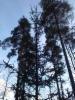 Sikermäkuusi, Picea abies f. glomerulans, Lahti