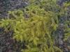 Talvikultakuusi, Picea abies f. aurea, Nastola