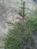 Nuori, useampaan kertaan niitetty käärmekuusi, Picea abies f. virgata, Nastola