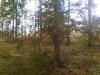 Sikermäkuusi, Picea abies f. glomerulans, Nastola