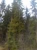 Iso surukuusi, Picea abies f. pendula, Nastola