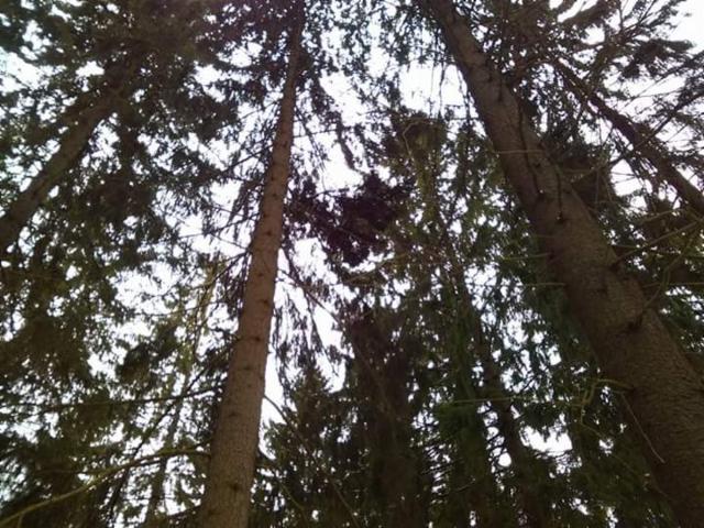 Viuhkamainen kuusen tuulenpesä, Picea abies f. globosa
