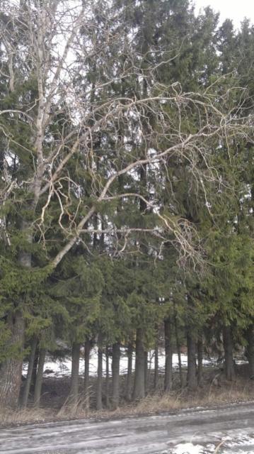 Käärmehaapa, Populus tremula f. virgata