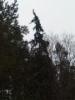 Iso surukuusi, Picea abies f. pendula, Orimattila