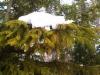 Ikikultainen kultakuusi, Picea abies f. aurea